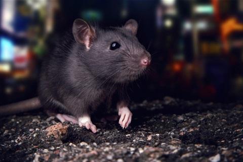 3720940cf66 Rats & Mice