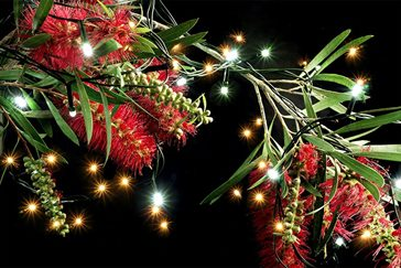 christmas_bottlebrush.jpg